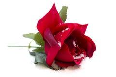 Rose de rouge dans la neige Images libres de droits