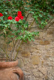 Rose de rouge dans le grand pot d'argile dehors sur le mur en pierre Images stock
