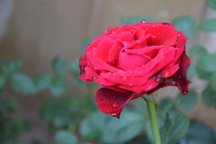 Rose de rouge dans le jardin Photo stock