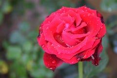 Rose de rouge dans le jardin Image libre de droits