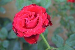 Rose de rouge dans le jardin Images libres de droits