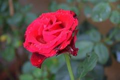 Rose de rouge dans le jardin Image stock