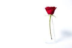 Rose de rouge dans un vase en verre sur le fond blanc Photo libre de droits