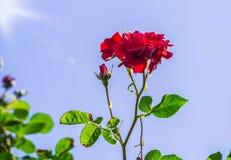 Rose de rouge dans une fin de jardin  Photographie stock libre de droits
