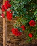 Rose de rouge dans une fin de jardin  Images libres de droits