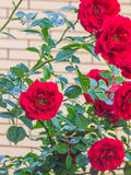 Rose de rouge dans une fin de jardin  Image stock