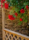 Rose de rouge dans une fin de jardin  Image libre de droits