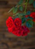 Rose de rouge dans une fin de jardin  Photo stock