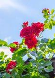 Rose de rouge dans une fin de jardin  Photos stock