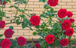 Rose de rouge dans une fin de jardin  Photos libres de droits