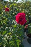 Rose de rouge dans une roseraie Image libre de droits