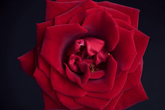 Rose de rouge de velours Photographie stock