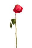 Rose de rouge de Wither Image stock
