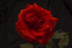 Rose de rouge en gouttes de pluie sur un fond foncé Image stock