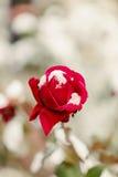 Rose de rouge en plan rapproché de neige Foyer sélectif Images libres de droits