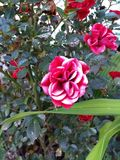 Rose de rouge et de blanc Images stock