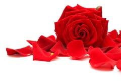 Rose de rouge et pétales roses sur le blanc Image stock
