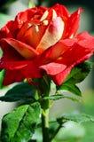 Rose de rouge fleurissant dans le jardin Photographie stock