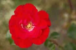 Rose de rouge fleurissant en parc images stock