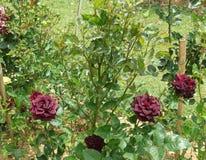 Rose de rouge foncé Photo libre de droits