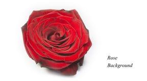 Rose de rouge, fond Images stock