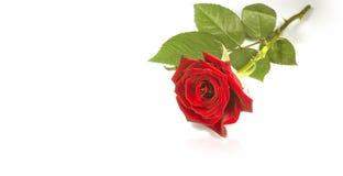 Rose de rouge, fond Image stock
