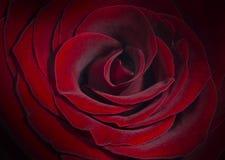 Rose de rouge, fond Photos stock