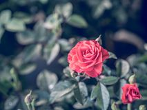 Rose de rouge, image de style de vintage Photo stock