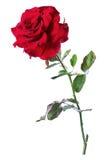 Rose de rouge, isolat Photo libre de droits