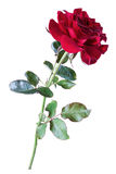 Rose de rouge, isolat Photographie stock