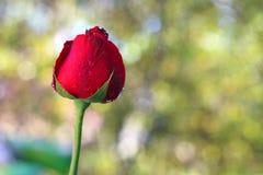 Rose de rouge le fond de bokeh avec l'espace de copie, le concept de l'amour et le jour du ` s de valentine Images libres de droits