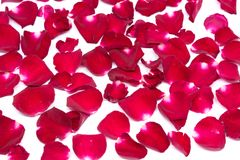 Rose de rouge de milieux de plan rapproché sur les milieux blancs Photo libre de droits