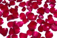 Rose de rouge de milieux de plan rapproché sur les milieux blancs Image stock