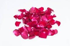 Rose de rouge de plan rapproché sur les milieux blancs Photo libre de droits