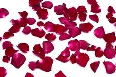 Rose de rouge de plan rapproché sur les milieux blancs Photographie stock