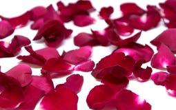 Rose de rouge de plan rapproché sur les milieux blancs Photos libres de droits