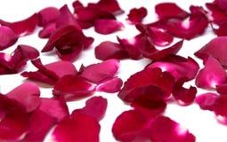 Rose de rouge de plan rapproché sur les milieux blancs Photographie stock libre de droits