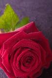 rose de rouge pour l'amour Image libre de droits