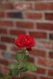 Rose de rouge, Rosa, fleurs Images libres de droits