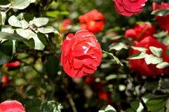 Rose de rouge sous la lumière du soleil Photos libres de droits