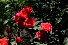 Rose de rouge sous la lumière du soleil Photo libre de droits