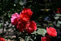 Rose de rouge sous la lumière du soleil Image libre de droits