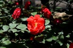 Rose de rouge sous la lumière du soleil Images libres de droits