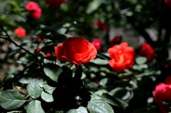 Rose de rouge sous la lumière du soleil Photographie stock