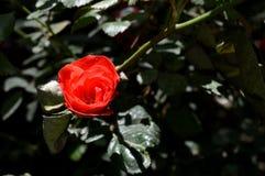 Rose de rouge sous la lumière du soleil Photos stock