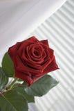 Rose de rouge sur abat-jour Photos libres de droits