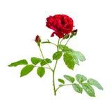 Rose de rouge sur la branche Photographie stock