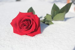 Rose de rouge sur la neige Photos libres de droits