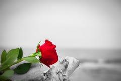 Rose de rouge sur la plage Couleur contre noir et blanc Amour, romance, concepts mélancoliques Photo libre de droits