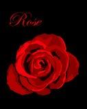 Rose de rouge sur le backround noir Photo stock